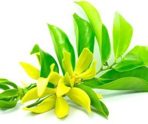 Betel Leaf Essential Oil 100% Pure & Natural Manufacture Suppliers
